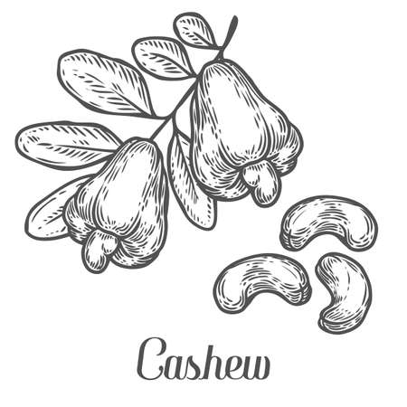Cashew nut seed plant vector. Isolated on white background. Cashew butter food ingredient. Engraved hand drawn illustration in retro vintage style. Organic Food, cosmetics, treatment component