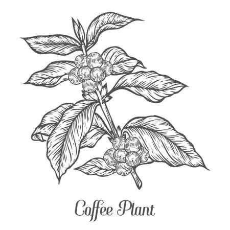 planta de cafe: rama de la planta de café con la hoja, baya, grano de café, fruta, semillas. la cafeína orgánica natural. El café verde, Luwak. Negro sobre fondo blanco. Croquis dibujado a mano ilustración vectorial de café.