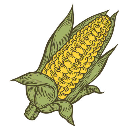 sweetcorn: Corn cob Maize vector. Isolated on white background. Corn food ingredient. Engraved hand drawn illustration in retro vintage style. Organic Food, sauce, dishes component