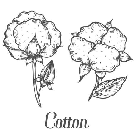 boll: Cotton plant, bud, leaf, plant, branch. Hand drawn engraved vector sketch ink illustration. Ingredient for fabric, treatment, cosmetics. Retro vintage Black on white background