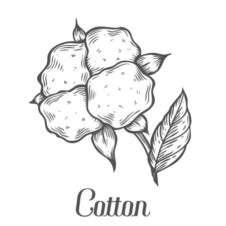 cotton plant: Cotton plant, bud, leaf, plant, branch. Hand drawn engraved vector sketch ink illustration. Ingredient for fabric, treatment, cosmetics. Retro vintage Black on white background