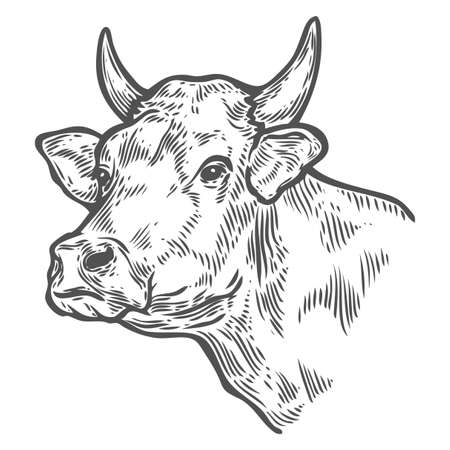 Cows head. Hand drawn sketch in a graphic style. Vintage vector engraving illustration for poster, web. Isolated on white background