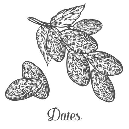 Dates. Hand drawn vector illustration of dried dates (Ramadan Iftar food) organic food date palm on white background. Çizim