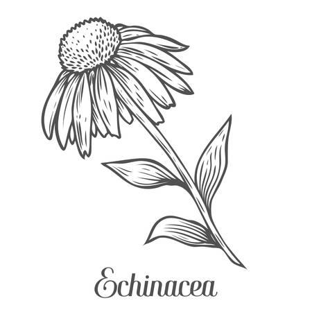 echinacea: Echinacea flower, leaf, plant. Black isolated on white background. Organic nature medicinal ayurvedic herb. Hand drawn engraved sketch vector illustration. Illustration