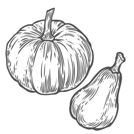 Pumpkins. Natural organic hand drawn vector sketch engraved illustration. Autumn vegetable, berry Isolated on white background
