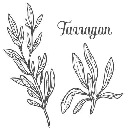 dragoncello francese, Artemisia dracunculus sativa vettore disegnata a mano illustrazione schizzo. erba culinaria per cucinare, medico, disegno giardinaggio. Organic ingrediente sapore del prodotto per l'etichetta, segno, icona