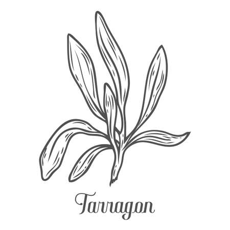 French tarragon, Artemisia dracunculus sativa vector hand drawn sketch illustration. Culinary herb for cooking, medical, gardening design. Organic product flavor ingredient for label, sign, icon Иллюстрация