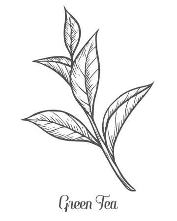 planta del té verde, hoja. Dibujado a mano ilustración vectorial boceto. lineas de la rama floral orgánica. El té verde chino, bebida caliente. hoja de negro sobre fondo blanco. Ilustración de vector