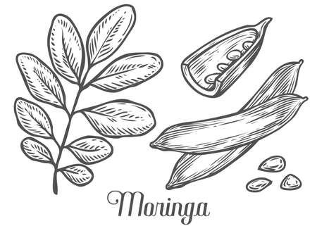 Moringa plant, leaf and seed. Moringa vintage sketch engraved hand drawn vector illustration. White background.