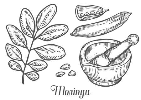 malunggay: Moringa plant, leaf, seed with mortar and pestle. Moringa vintage sketch engraved hand drawn vector illustration. White background.