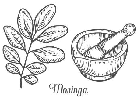 marango: Moringa plant, leaf with mortar and pestle. Moringa vintage sketch engraved hand drawn vector illustration. White background.