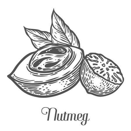 Nutmeg nut seed vector. Isolated on white background. Nutmeg butter food ingredient. Engraved hand drawn illustration in retro vintage style. Organic Food, cosmetics, treatment component
