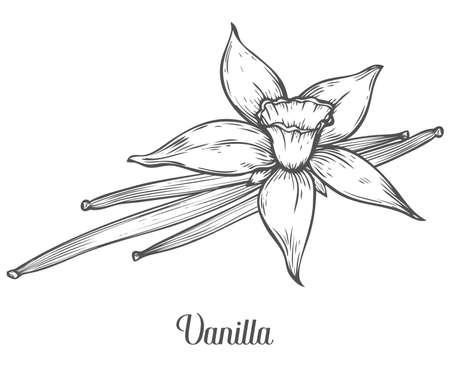 Vainilla semilla de la flor de la hoja rama de la planta. Mano vector dibujado boceto aislado en blanco. hierbas y especias. Vainilla Doodle ingrediente diseño de cocina para comida, postre. Condimento de hierbas especias. Ilustración de vector