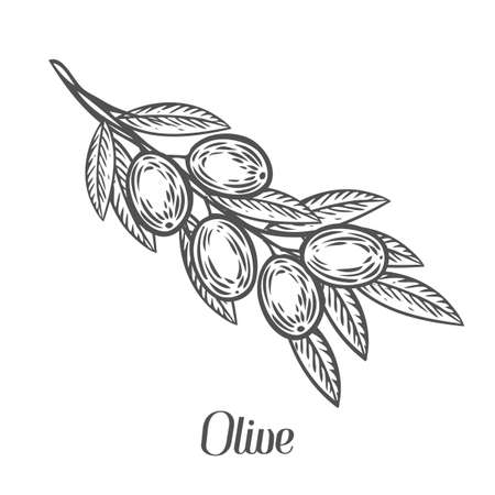 Olive branch with berry and leaf diet plant superfood ingredient. Natural organic hand drawn vector sketch engraved illustration. Olive black, green, oil. Isolated on white background