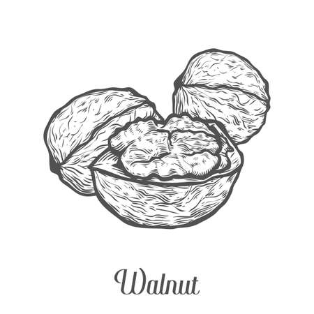 Walnut nut seed vector. Isolated on white background. Walnut food ingredient. Engraved hand drawn illustration in retro vintage style. Organic Food, cosmetics, treatment component.