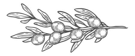 Olive branch with berry and leaf diet plant superfood ingredient. Natural organic hand drawn vector sketch engraved illustration. Olive black, green. Isolated on white background Иллюстрация