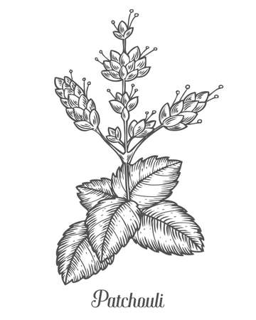 Patchouli plant vector hand drawn illustration on white background. Pogostemon cablin. Patchouli Plant for traditional medicine, perfume fragrance, cooking or gardening, aromatherapy. Engraving style.