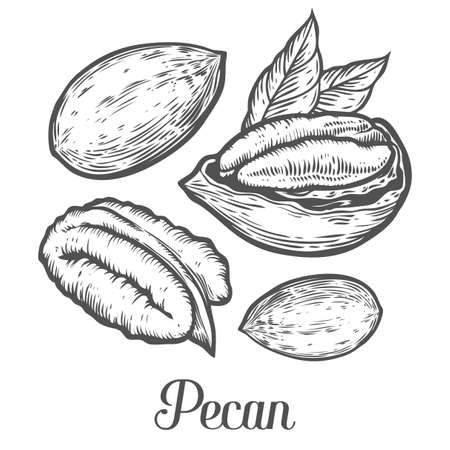 Pecan nut seed vector. Isolated on white background. Pecan butter food ingredient. Engraved hand drawn pecan illustration in retro vintage style. Organic Food, cosmetics, treatment component