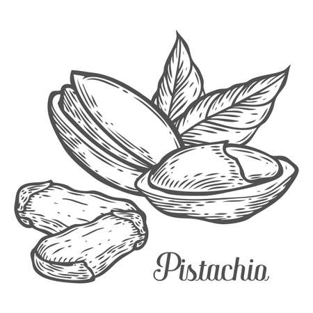 Pistachio nut seed vector. Isolated on white background. Pistachio butter food ingredient. Engraved hand drawn pecan illustration in retro vintage style. Organic Food, cosmetics, treatment component