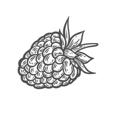 Raspberry fruit. Superfood organic berry. Hand drawn vector sketch engraved illustration. Black raspberry isolated on white background Иллюстрация