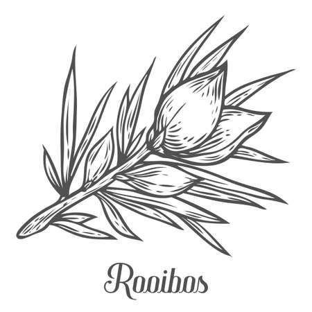 Rooibos tea plant, leaf. Hand drawn sketch vector illustration. Floral branch organic lineart. African rooibos tea, hot drink. Black leaf on white background. Иллюстрация