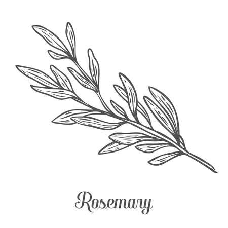 Rosemary vettore disegnata a mano schizzo illustrazione vettoriale. spezia erba culinaria per cucinare, medico, disegno giardinaggio. Organic rosmarino ingrediente sapore del prodotto per l'etichetta, segno, icona Vettoriali