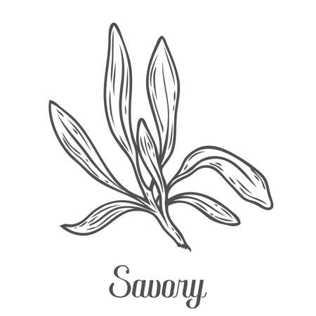 Savory vector hand drawn sketch vector illustration. Culinary herb spice for cooking, medical, gardening design. Organic product flavor ingredient for label, sign, icon Иллюстрация