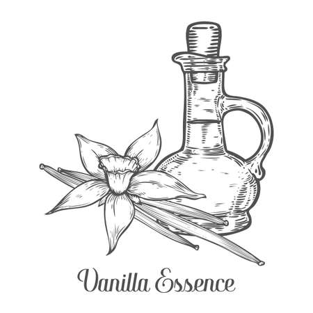 Vanilla essence oil bottle seed vector. Isolated on white background. Vanilla food ingredient. Engraved hand drawn illustration in retro vintage style. Organic Food, cosmetics, dessert component.