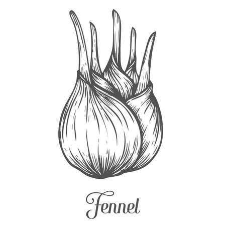 fennel: Fennel root plant. Hand drawn sketch vector illustration isolated on white. Spicy herbs. Fennel Doodle design cooking ingredient for food. Seasoning spice herb.