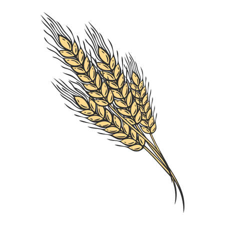 Wheat bread ears cereal crop sketch hand drawn vector illustration. Black ear isolated on white background. Gluten food ingredient engraving retro vintage style. Иллюстрация