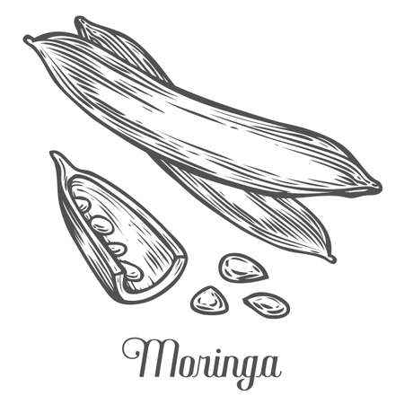 Moringa plant, seed. Moringa vintage sketch engraved hand drawn vector illustration. White background.