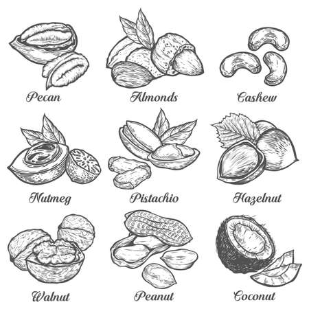 Hazelnut, almond, walnut, peanut, coconut, pecan, pistachio, cashew, nutmeg seed vector. Isolated on white background. Nut milk, butter food ingredient. Engraved hand drawn illustration.