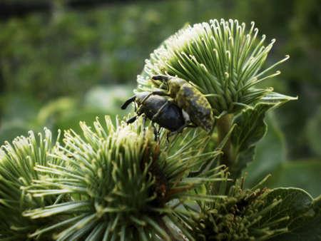 weevils: Weevils, or weevils