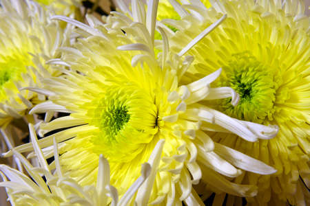Variety of chrysanthemums. Stock Photo