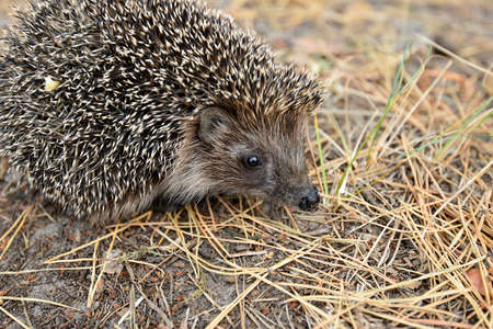 Forest resident hedgehog. Stock Photo