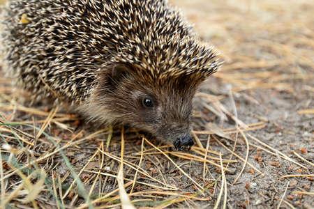resident: Forest resident hedgehog. Stock Photo