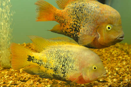 Ornamental fish which are contained in aquariums. The first mention of the artificial fish breeding in China dated back to 1500 BC. e.