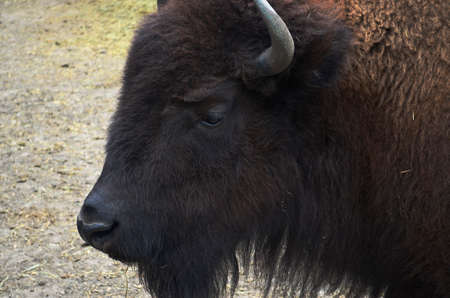 Zubr, or European bison - a kind of animal of the genus of bison of the subfamily of bovine family of polarogig detachment of cloven-hoofed animals. Stock Photo