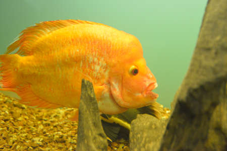 Ornamental fish which are contained in aquariums. The first mention of the artificial fish breeding in China dated back to 1500 BC. e. Stock Photo - 92016557