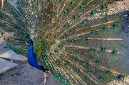Peacock flaunts in front of the camera.