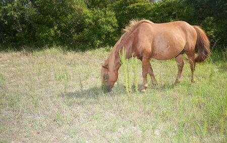 A wild horse from Assateague Island eating grass Reklamní fotografie