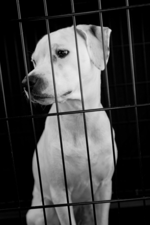 A white dog looking out of a cage
