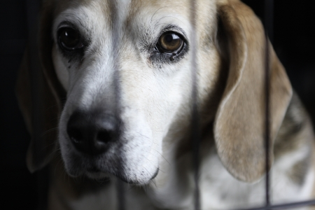 A beagle sitting behind a cage looking out