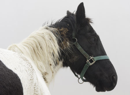 A neglected horse with burdock tangled in its hair.