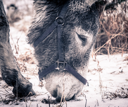 A donkey looking for food on the ground. Stock Photo