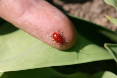The red beetle on a finger Stock Photo