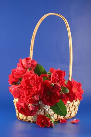 Red roses lay in a basket. It is photographed on a dark blue background. Stock Photo