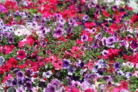 Multi-coloured petunias. A flower background.