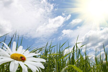 chamomile with ladybird, green grass and blue sky Stock Photo