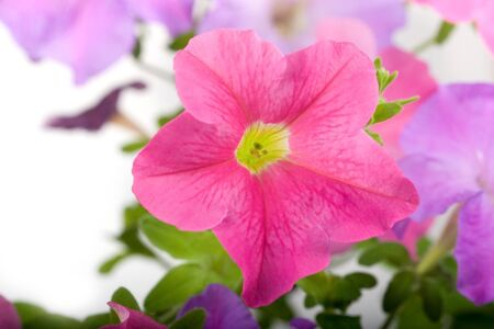 Pink petunia isolated on a white background